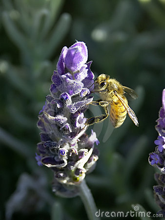 Bee on Lavender  No. 3