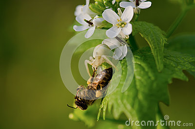 Bee on little white flowers
