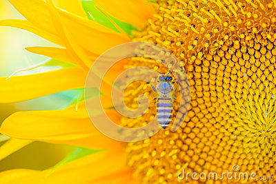 Bee and sunflower 01