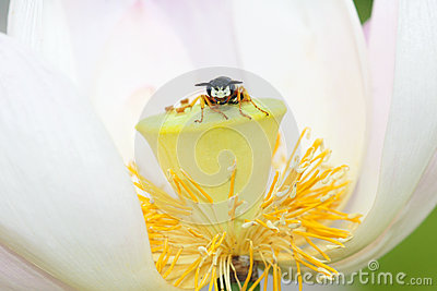 Bee and lotus