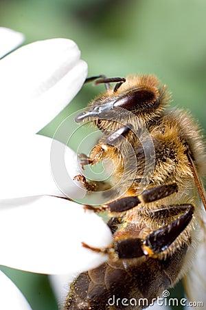 Free Bee Macro Royalty Free Stock Images - 1034619
