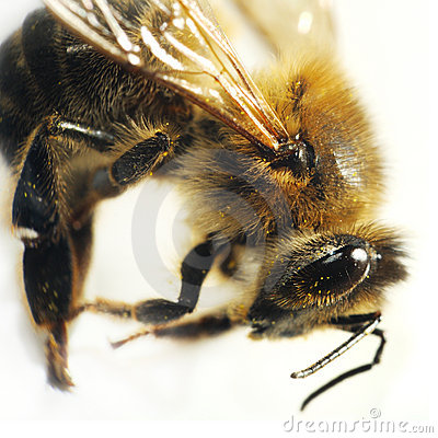 Bee macro isolated