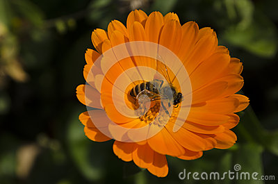 Bee on the marigold
