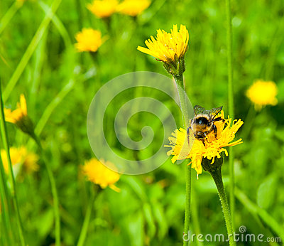Bee on a meadow