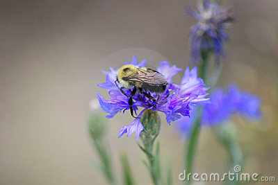 Bee meets Cornflower