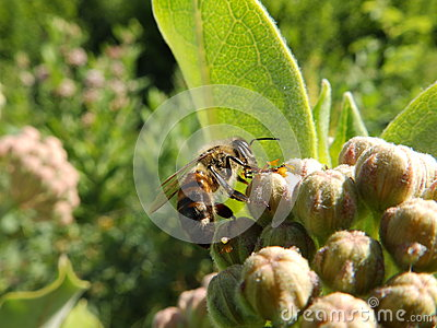 Bee on the milk weed
