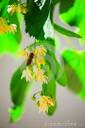 Free Bee On A Lime Tree Stock Photos - 28799023