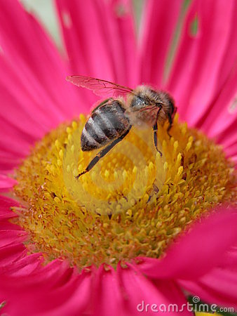 Free Bee On A Pink Flower 2 Royalty Free Stock Images - 289
