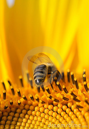 Free Bee On A Sunflower Royalty Free Stock Image - 3672466