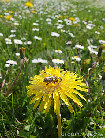 Free Bee On A Yellow Flower Stock Photos - 2234433