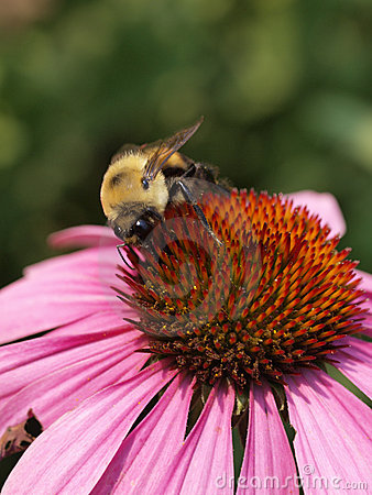 Free Bee On Echinacea Royalty Free Stock Photos - 6085518
