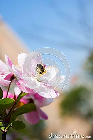 Free Bee On Plum Blossom Stock Image - 13942961