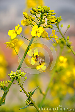 Free Bee On Rape Flowers Royalty Free Stock Images - 28619949