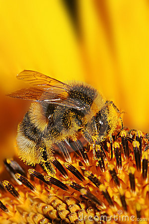 Free Bee On Sunflower Stock Photography - 2995062