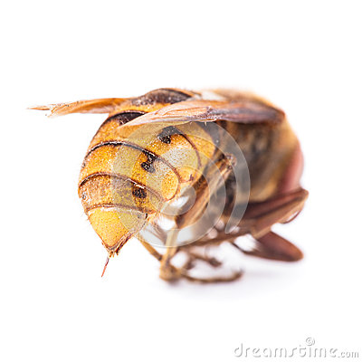 Free Bee On White Royalty Free Stock Photography - 25987527
