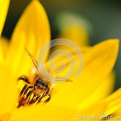 Free Bee On Yellow Flower Stock Photo - 33219850