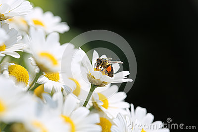 Bee on Oxeye Daisy