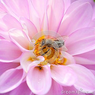 Bee and pink Dhalia