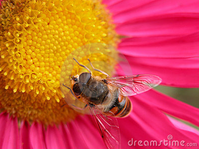 Bee on a pink flower 1 Stock Photo