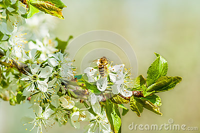 Bee on plum blossoms. Close up