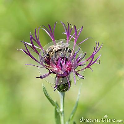 Bee pollinate a cornflower