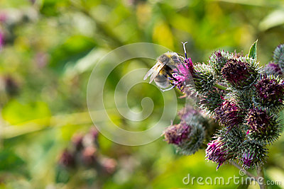 Bee pollinating flowering Great Burdock