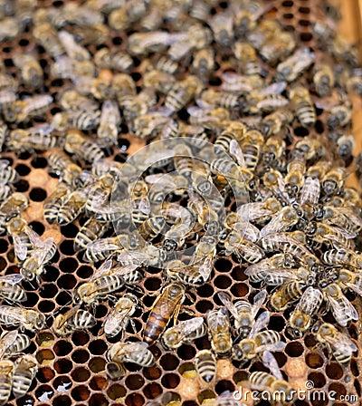 Bee-queen