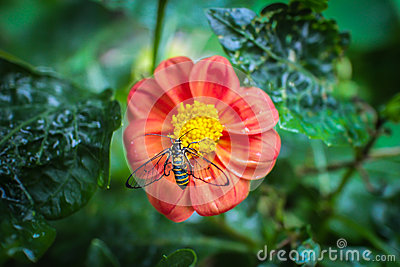 Bee on red flower. Top view. Stock Photo