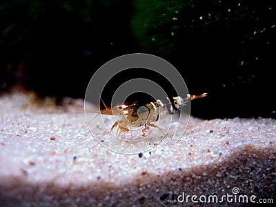 Bee shrimp (Caridina cantonensis)