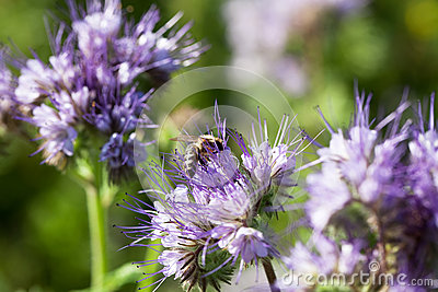 Bee sitting on a meadow flower