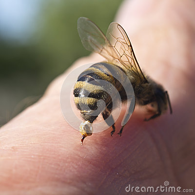 Free Bee Sting - A Weapon Of Defense And Attack Royalty Free Stock Images - 55278299