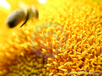 Bee and sunflower 1