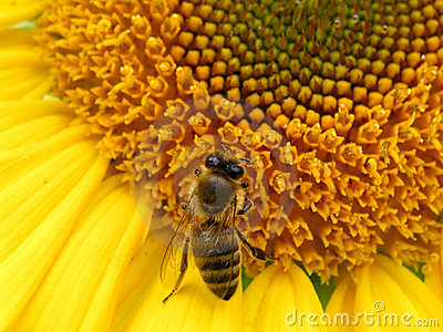 Bee and sunflower 2