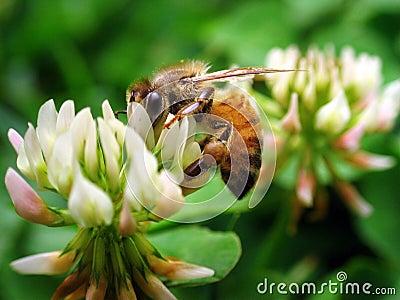 Bee - Super Macro 1