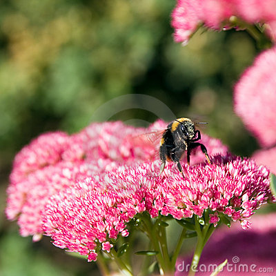 Free Bee Taking Off From A Sedum Flower Royalty Free Stock Photos - 11093548