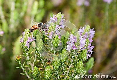 Bee on thyme