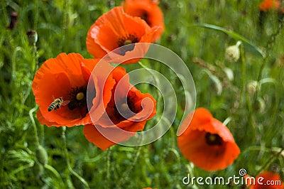 A bee twirls near  the red flowers of wild poppy o