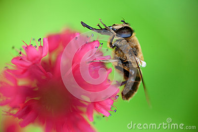 Bee washing itself