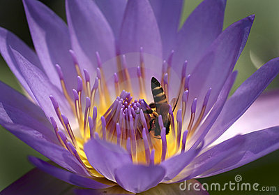 Bee and water lilly flower