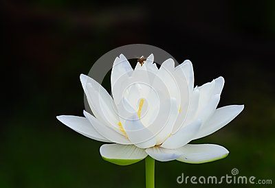 Bee and white lotus