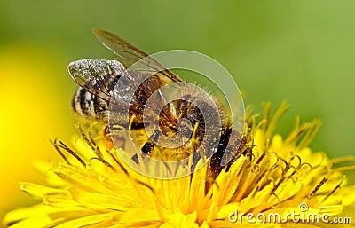 Bee on yellow dandelion.