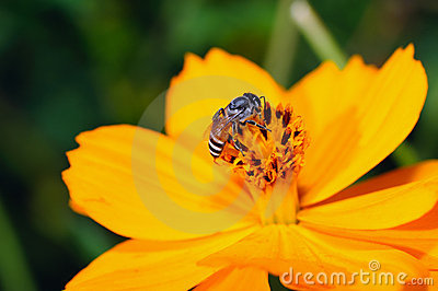 Bee on the yellow flower.