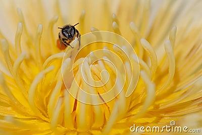 Bee on yellow lotus flower