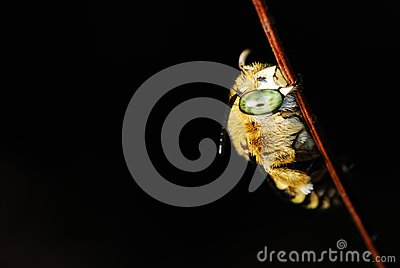 A bee with yellow stripes tummy