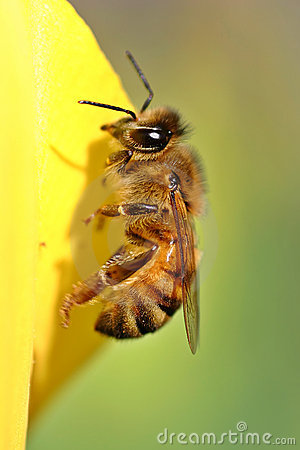 Bee Yellow Tulip