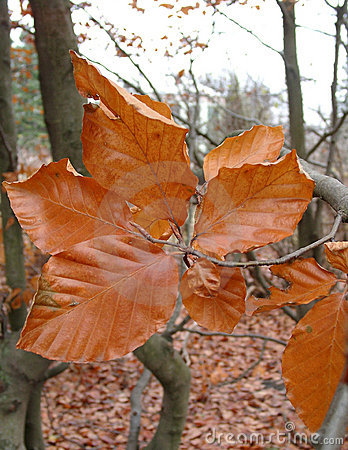 Beech in the autumn