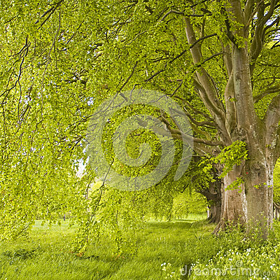 Free Beech Avenue Royalty Free Stock Images - 36735679