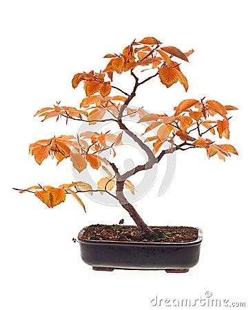Free Beech Bonsai Royalty Free Stock Photography - 3569457