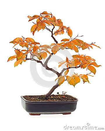 Free Beech Bonsai Stock Photography - 3569462