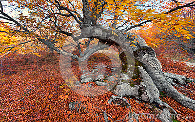 Beech in the colorful autumn forest